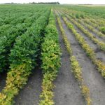 Comparison of treated vs. non-treated soybeans