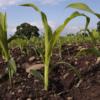corn soil sampling